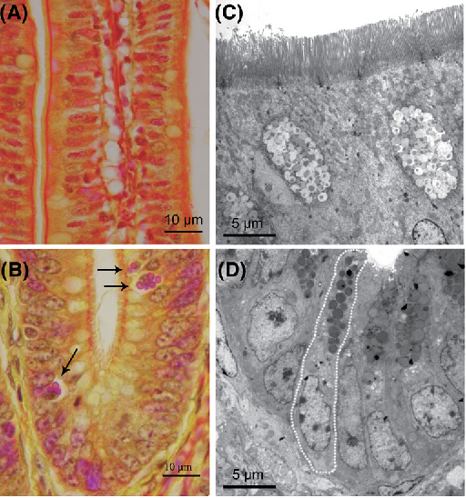 PDF] Identification of the Paneth cells in chicken small intestine
