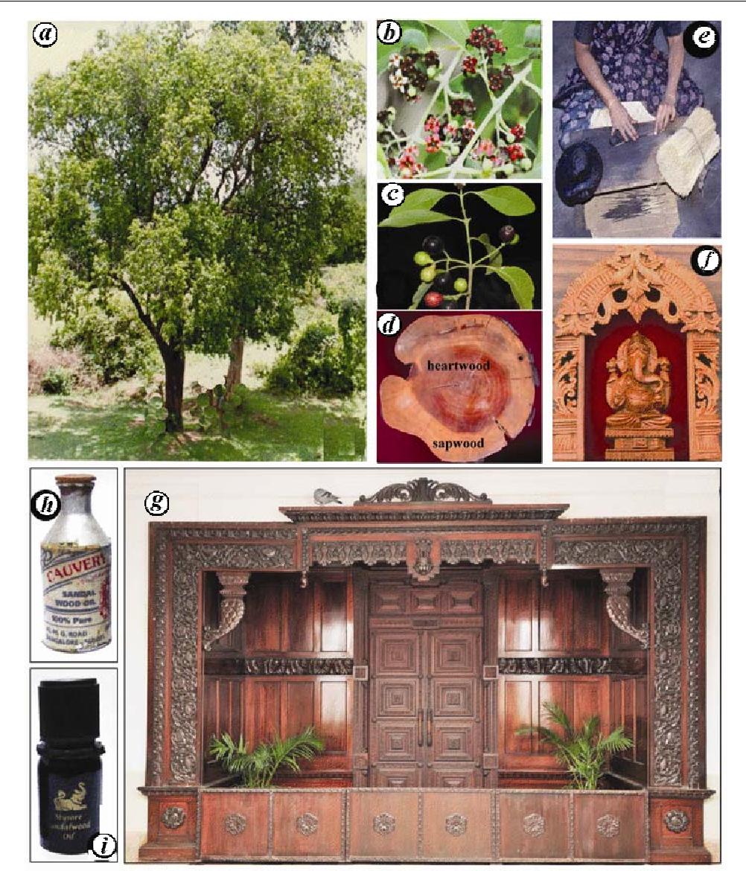 PDF] Sandalwood: History, uses, present status and the