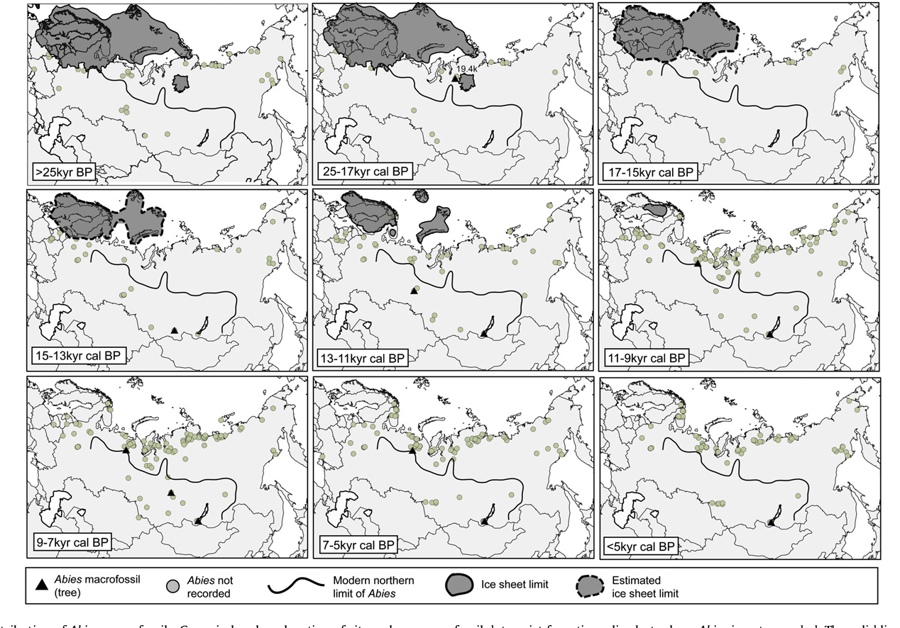 Fig. 5. Distribution of Abies macrofossils. Grey circles show location of sites where macrofossil data exist for a time slice but where Abies is not recorded. The solid line represents the modern northern limit of Abies sp.