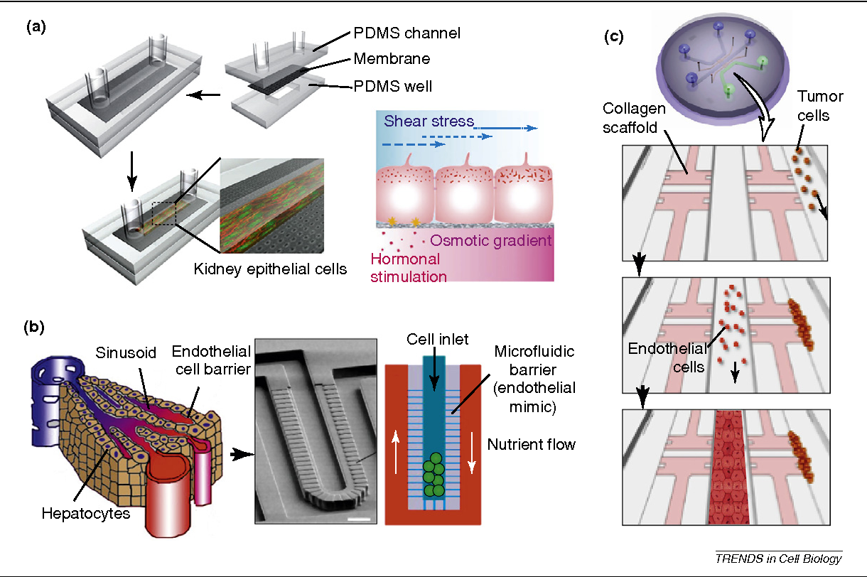 Figure 1 From 3d Cell Culture To Organs On Chips Semantic Diagram Scholar