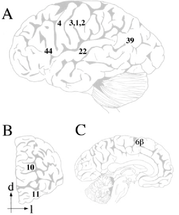 Regional Dendritic And Spine Variation In Human Cerebral Cortex A