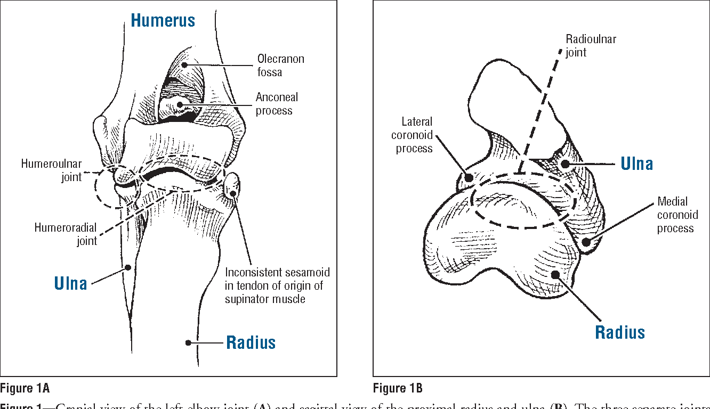 Figure 1 from Humerus Ulna Radius Humeroulnar joint Humeroradial ...