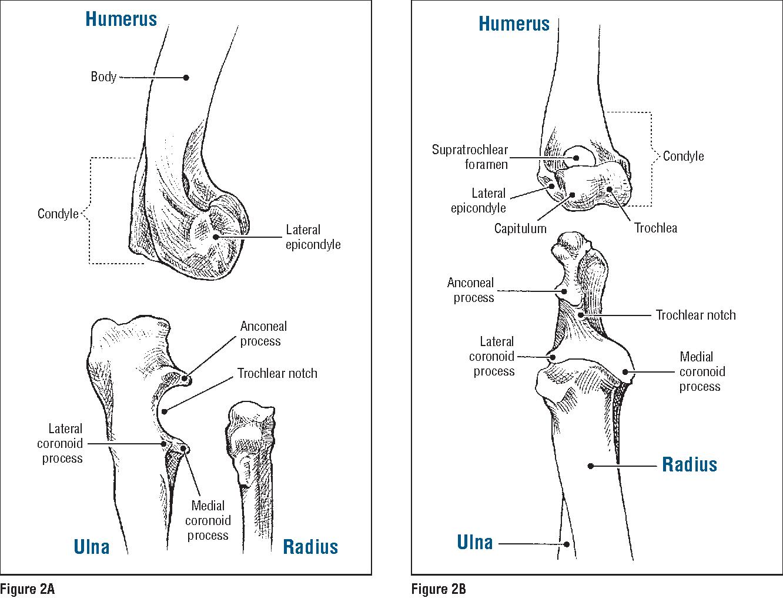 Figure 2 from Humerus Ulna Radius Humeroulnar joint Humeroradial ...