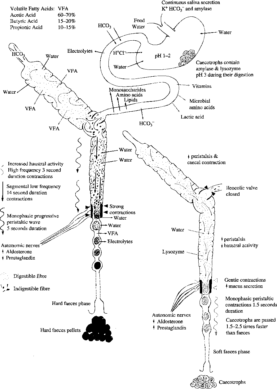 Fig. 2. An overview of the activity of the digestive system of the rabbit. (Adapted from Harcourt-Brown F. Textbook of rabbit medicine. Oxford: Butterworth-Heinemann; 2002, with permission.)