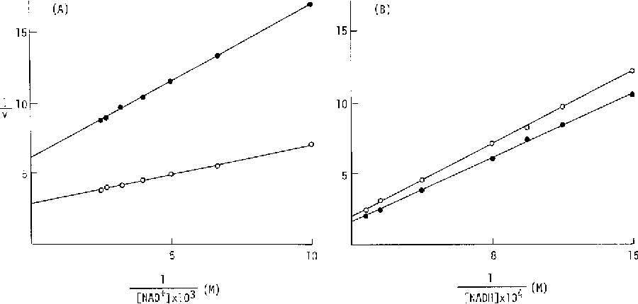 Fig. 4. Lineweaver-Burk plots illustrating the effect of concentration ofcofactors on the activities of cytoplasmic malate dehydrogenase allozymes. A: NAD + reduction. B: NADH oxidation, o, MDHf; e, MDH s.