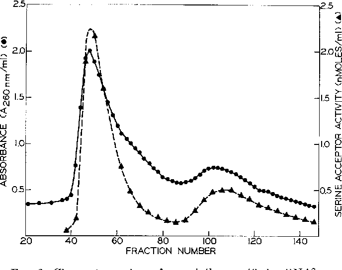 """FIG. 3. Chromatography of partially purified tRNASer on beneoylated DEAE-cellulose. The tRNA of Fraction 23 (Fig. 1) (containing tRNAP and tRNAP, see """"Results"""") was applied to a column (1 X 175 cm) of benzoylatedDEAE-cellulose previously equilibrated with 0.4 M NaCl, 0.01 M Tris-HCl (pH 7.5), 0.01 M MgCl,, and 0.5% NaNa. Elution was carried out at room temperature with a linear gradient (0.4 -+ 1.7 M) of NaCl (total volume of gradient 2.1 liters) containing the other components of the equilibration buffer in the same concentrations. After completion of the gradient (at Fraction 150, not shown in this figure) the column was washed with 2 M NaCl and 14% ethanol to elute any remaining ultraviolet-absorbing material. The flow rate was 16 ml per hour and fractions of 12 ml were collected."""