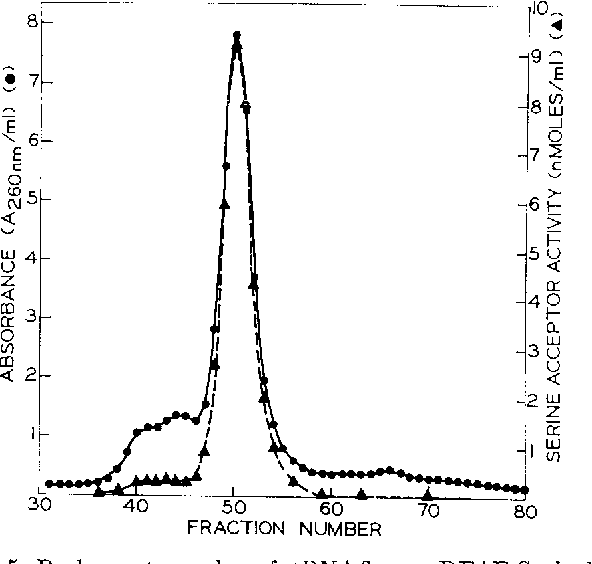 FIG. 5. Rechromatography of tRNA3ser on DEAE-Sephadex. A column (0.9 X 150 cm) of DEAE-Sephadex was prepared as described in the legend to Fig. 4. tRNA (580 Atea) of the tRN&eer fraction from the chromatography described in Fig. 2 in 15 ml of equilibration buffer was loaded on the column and washed in with 10 ml of the same buffer. Elution was carried out at room temperature with a linear gradient of NaCl (0.375 -+ 0.575 M and MgClq (0.008 ---) 0.019 M). The concentration of Tris HCI (pH 7.5) (0.02 M) and NaN3 (0.4%) remained constant. The total volume of the gradient was 1 liter. A flow rate of 15 ml per hour was maintained. Fractions of 11 to 12 ml were collected.