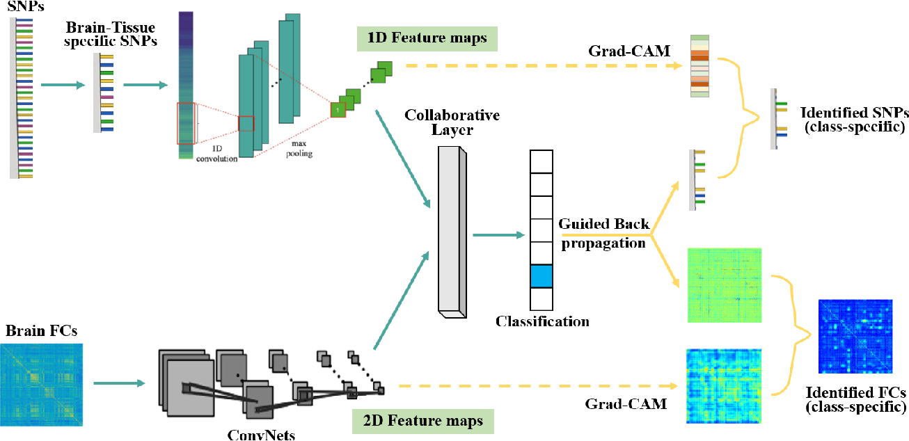 Figure 1 for Interpretable multimodal fusion networks reveal mechanisms of brain cognition