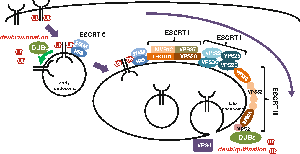 Fig. 1 Endocytic transport of membrane receptors for degradation. Receptors ubiquitinated at the plasma membrane are internalized and recognized by ESCRT-0. Recognized receptors are sequentially transported by ESCRT-I, -II and -III complexes, and internalized into luminal side of late endosomes to form multi-vesicular bodies for degradation. Deubiquitination occurs at early and late endosomes to regulate receptor degradation and ubiquitin retrieval, respectively