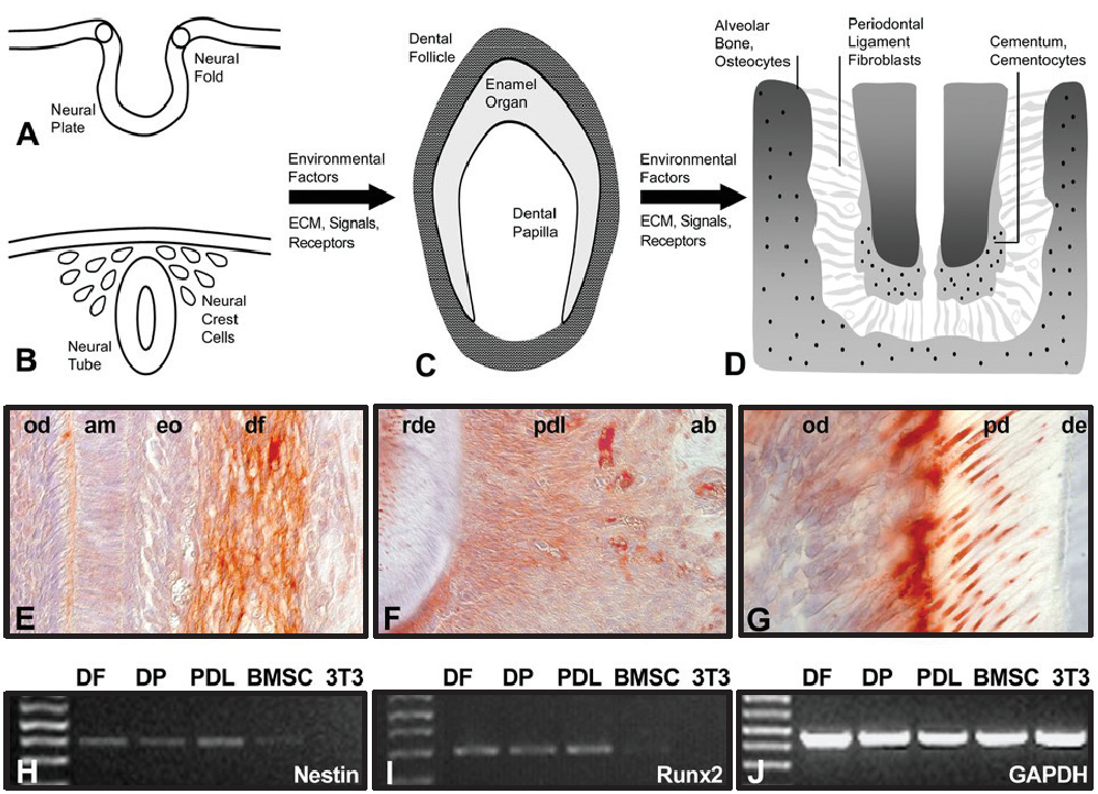 Neural crest lineage segregation a blueprint for periodontal figure 1 malvernweather Gallery