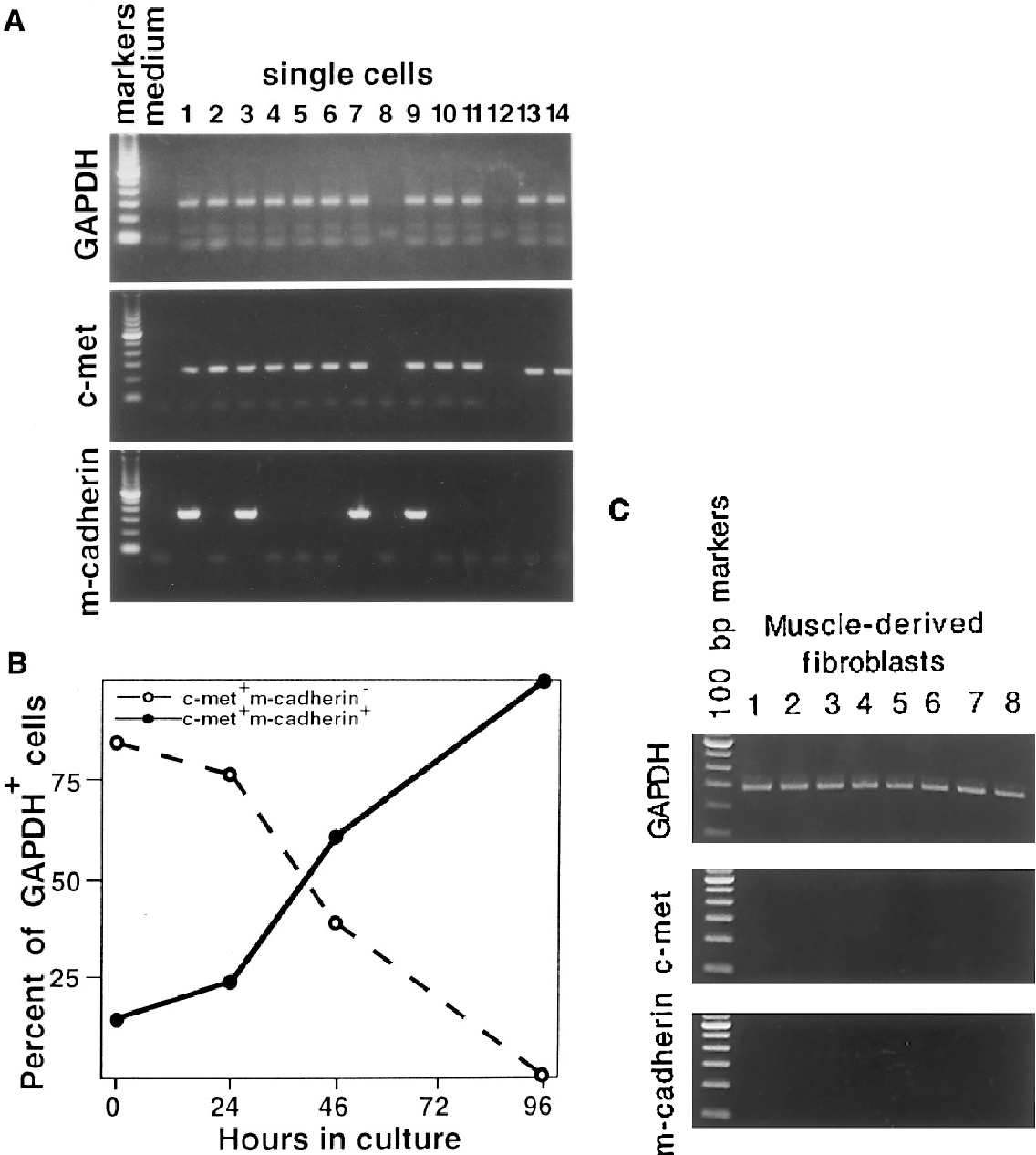 FIG. 3. (A) Sample single-cell RT-PCR gel from 48 hr in culture samples showing GAPDH (expected product 290 bp), c-met (expected product 249 bp), and m-cadherin (expected product 316 bp); marker, 100 bp ladder (Gibco). (B) Line graph illustrating the population shift from c-met/ m-cadherin0 (dashed line) to c-met/ m-cadherin/ (solid line) over the first 96 hr in culture of satellite cells on isolated myofibers. (C) Single-cell RT-PCR of muscle-derived fibroblasts harvested from the surface of a tissue culture dish. All GAPDH-positive cells were negative for both c-met and m-cadherin.