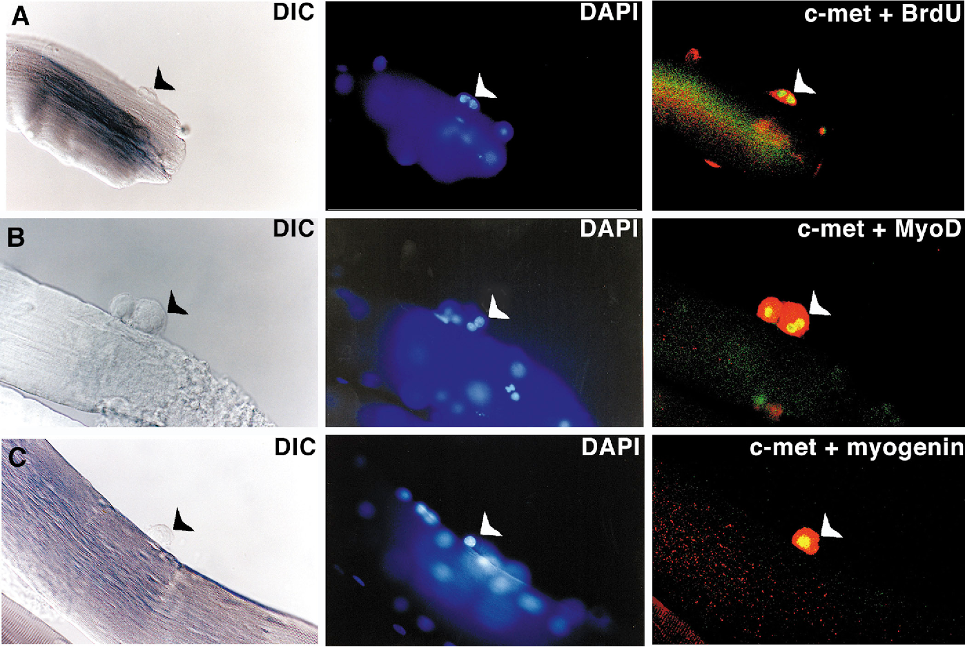 FIG. 4. (A) Myofiber stained and photographed after 48 hr in culture shown in phase and with nuclei visualized with DAPI; composite confocal image showing BrdU incorporation in nuclei of c-met-positive cells (4001). (B) Myofiber stained and photographed after 96 hr in culture shown in phase and with nuclei visualized with DAPI; composite confocal image showing expression of MyoD in nuclei of cmet-positive cells (4001). (C) Myofiber stained and photographed after 96 hr in culture shown in phase and with nuclei visualized with DAPI; composite confocal image showing expression of myogenin in the nucleus of a c-met-positive cell (4001).
