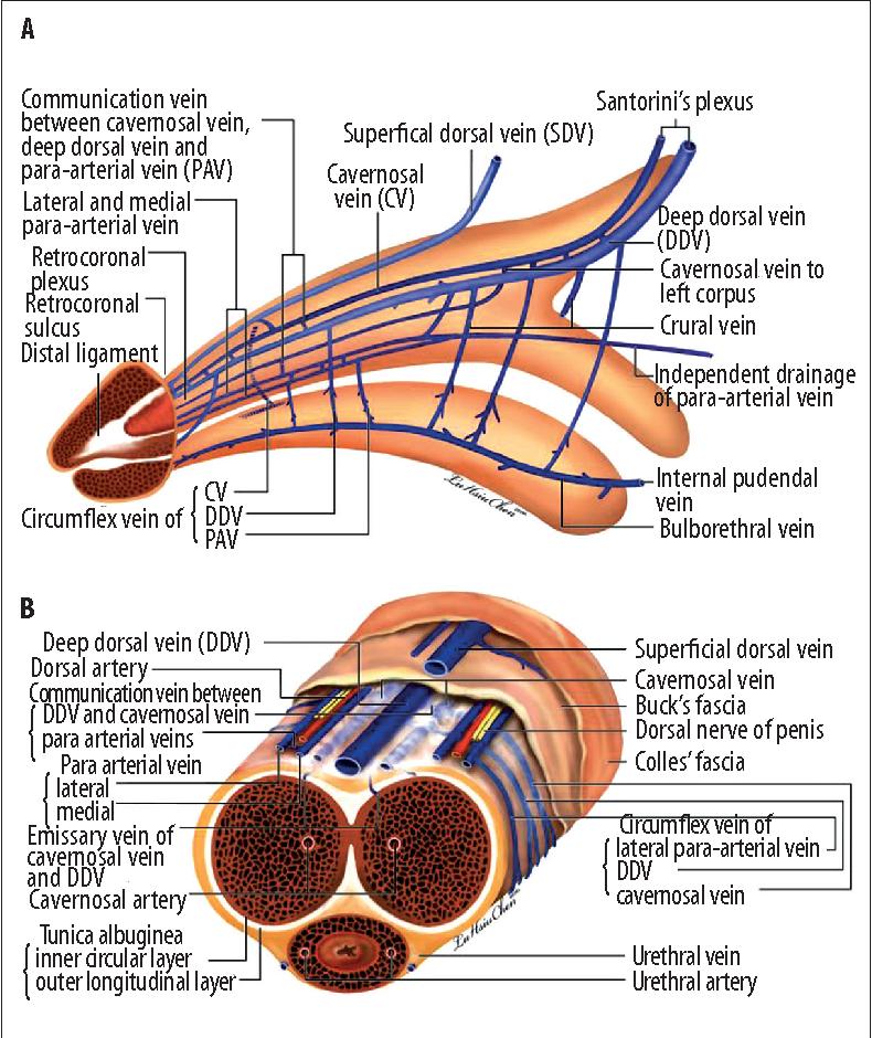 Advances in understanding of mammalian penile evolution, human ...