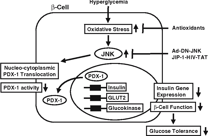 Fig. 3 Involvement of the JNK pathway in pancreatic β-cell dysfunction