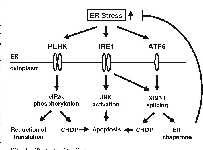 Fig. 4 ER stress signaling