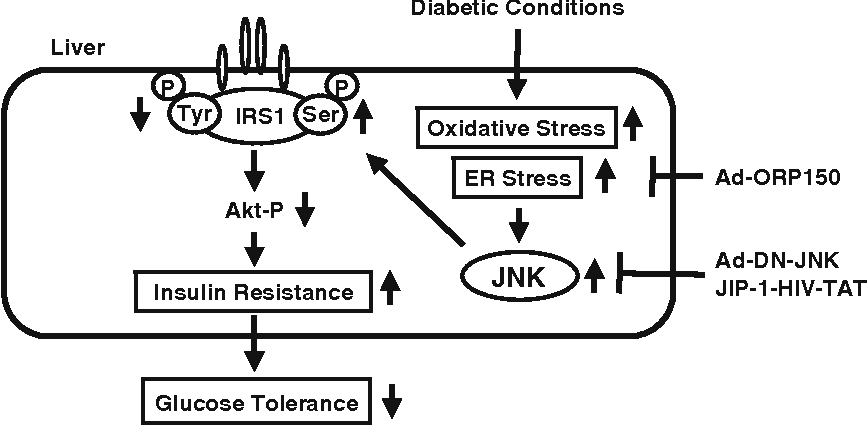 Fig. 5 Involvement of ER stress in insulin resistance