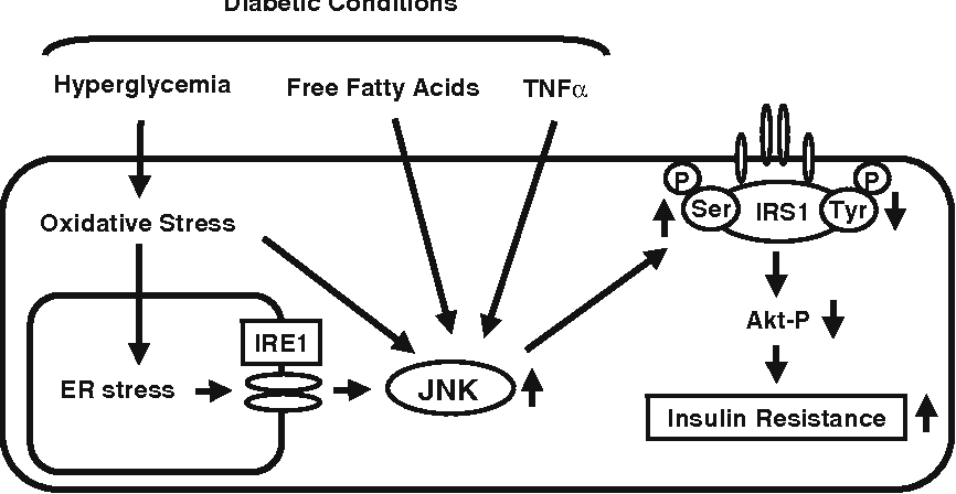 Fig. 6 Involvement of the JNK pathway in insulin resistance