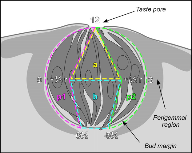 Figure 1 From Innervation Of Taste Buds Revealed With Brainbow