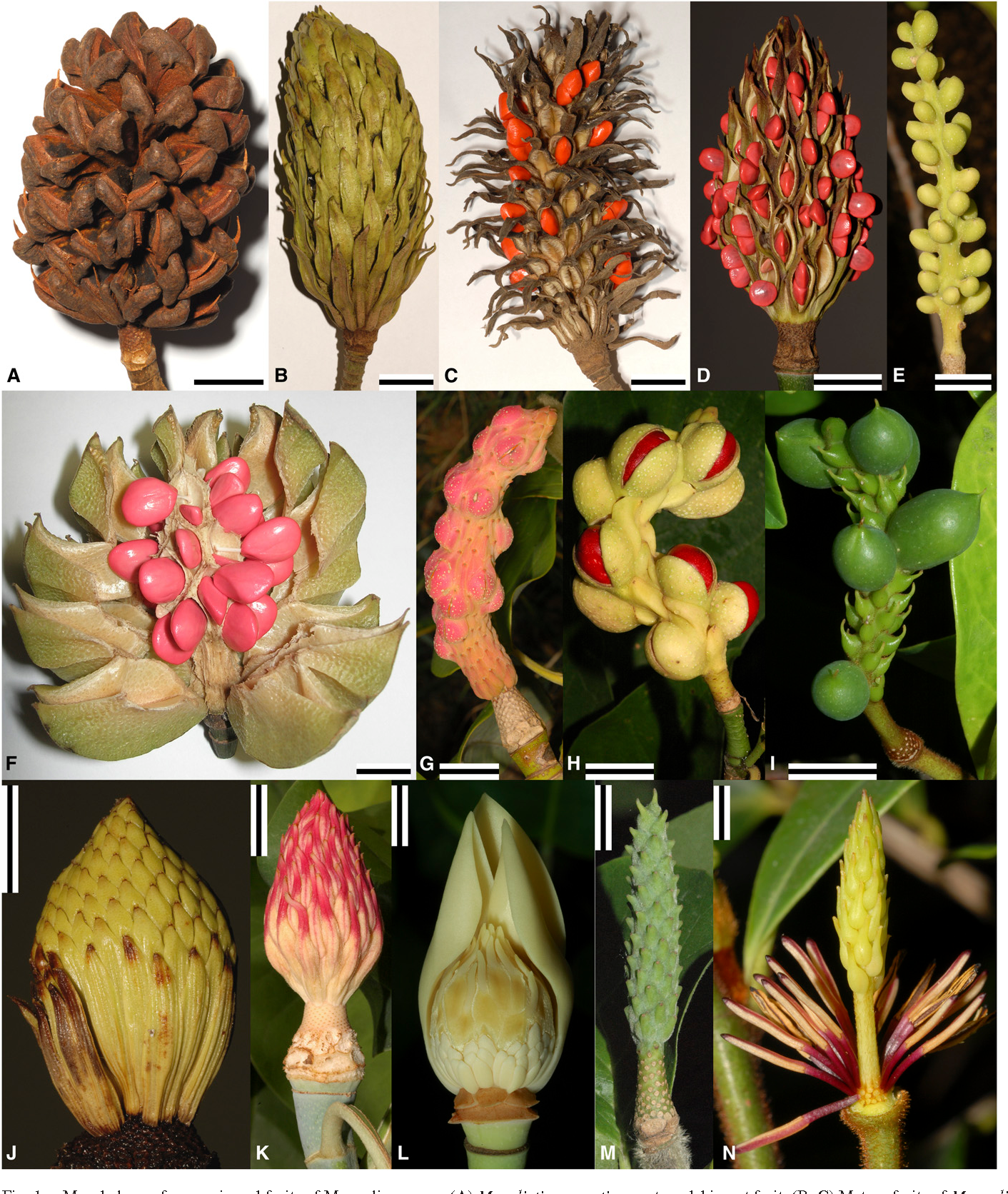 Figure 1 From Fruit Structure In Magnoliaceae Sl And Archaeanthus