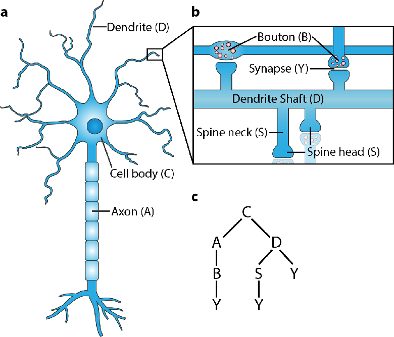 Figure 3 for SANTIAGO: Spine Association for Neuron Topology Improvement and Graph Optimization