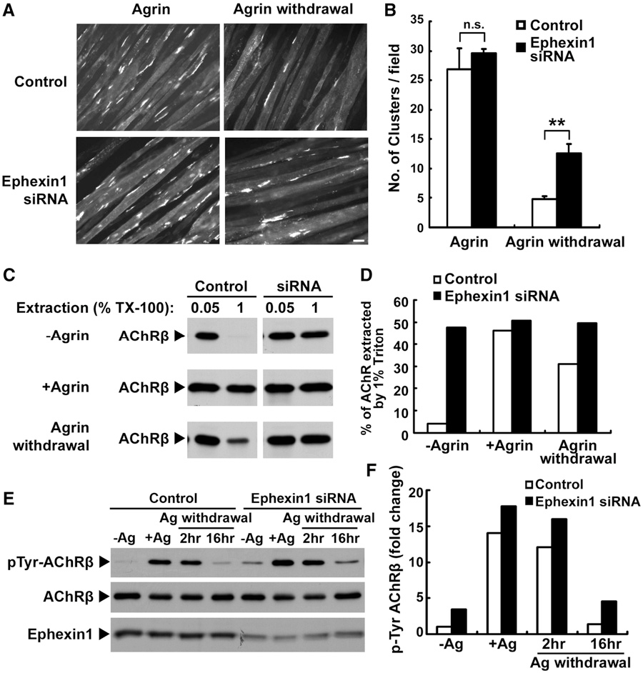 Figure 5. Knockdown of Ephexin1 Inhibits the Dispersal of Preexisting AChR Clusters in C2C12 Myotubes through Organization of the Cytoskeletal Anchorage of the Receptors