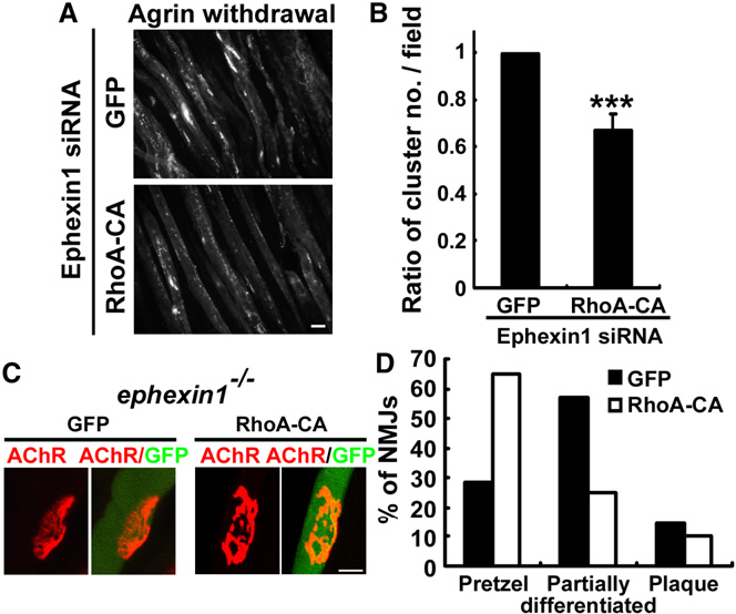 Figure 7. Ephexin1-Mediated Maturation of AChR Clusters Is Dependent on RhoA Activation