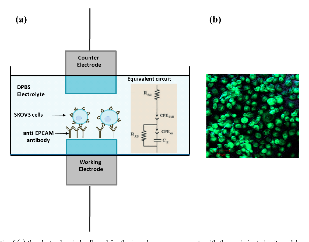 figure 1 from label free impedance detection of cancer cells rh semanticscholar org
