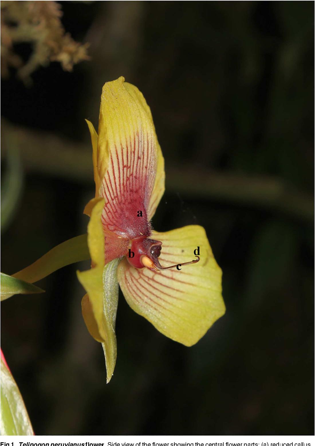 Figure 1 From Telipogon Peruvianus Orchidaceae Flowers Elicit Pre