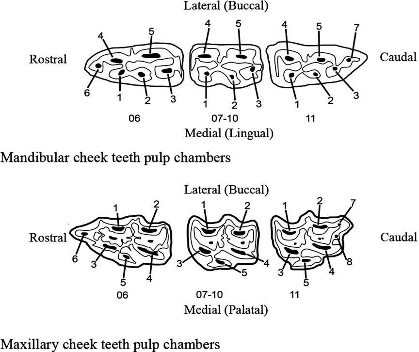 Pathological studies of cheek teeth apical infections in the horse ...