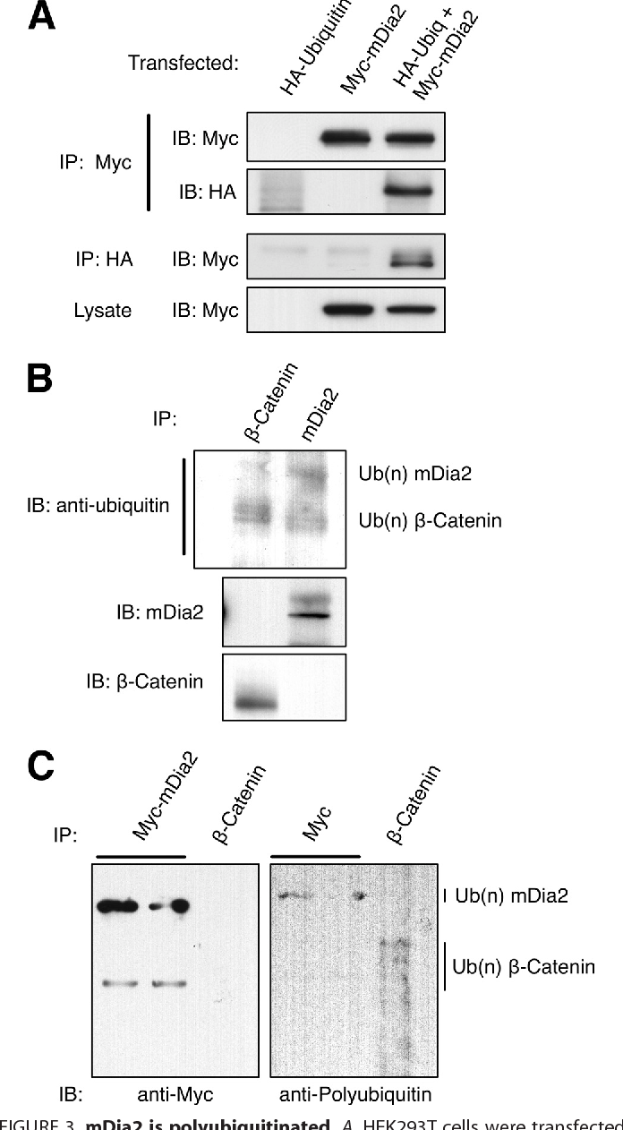 FIGURE 3. mDia2 is polyubiquitinated. A, HEK293T cells were transfected with Myc-mDia2, HA-ubiquitin, or co-transfected with both plasmids. Lysates were immunoprecipitated (IP) for either Myc or HA. Immunoblots (IB) of lysates and immunoprecipitations were probed with anti-Myc or anti-HA to examine the extent of ubiquitination. B, HeLa cells were incubated with 10 M MG132 for 18 h. Lysates were immunoprecipitated using anti- -catenin or anti-mDia2. Immunoblots were probed with anti-ubiquitin, anti- -catenin, or anti-mDia2 (1358) to examine endogenous ubiquitination. C, HEK293T cells were co-transfected with Myc-mDia2 and HA-ubiquitin. Lysates were immunoprecipitated with anti-Myc. HeLa cells were incubated with 20 M MG132 for 4 h. Lysates were immunoprecipitated with anti- -catenin. Immunoprecipitations were immunoblotted with anti-Myc and an antibody specific to polyubiquitin chains.
