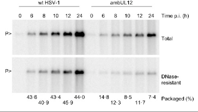 Fig. 2. Time-course of ambUL12 DNA replication and packaging. Monolayers of Vero cells were infected with wt HSV-1 or ambUL12 and, at the indicated times after infection, were processed for total DNA (upper panel) or DNase-resistant DNA (lower panel). The samples were analysed as described in Fig. 1(a). The percentage of DNA packaged at each time point from 6 to 24 h is indicated at the bottom and was calculated by dividing the counts in the DNase-resistant DNA band by those in the corresponding total DNA band.