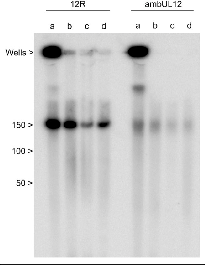 """Fig. 3. PFGE analysis of ambUL12- and 12R-infected BHK cells. Infected cells were resuspended in reticulocyte standard buffer [10 mM Tris/HCl (pH 7?5), 10 mM KCl, 1 mM MgCl2] containing 0?5% NP-40 in either the absence (lanes a) or the presence (lanes b) of 100 mg DNase I ml""""1 and incubated for 15 min at 37 6C. Separated cytoplasmic (lanes c) and nuclear (lanes d) fractions were similarly treated with DNase prior to embedding. In each instance the cells, or cellular fractions, were embedded in agarose, lysed and digested with proteinase K. Portions of the plugs corresponding to one-quarter of a 35 mm plate of cells were analysed by PFGE. The gel was blotted and hybridized to 32P-labelled HSV-1 DNA. The washed membrane was exposed to a phosphorimager screen and analysed using a Bio-Rad Personal Molecular Imager. The positions of molecular mass markers (Bio-Rad 5 kbp ladder) and the wells are indicated."""