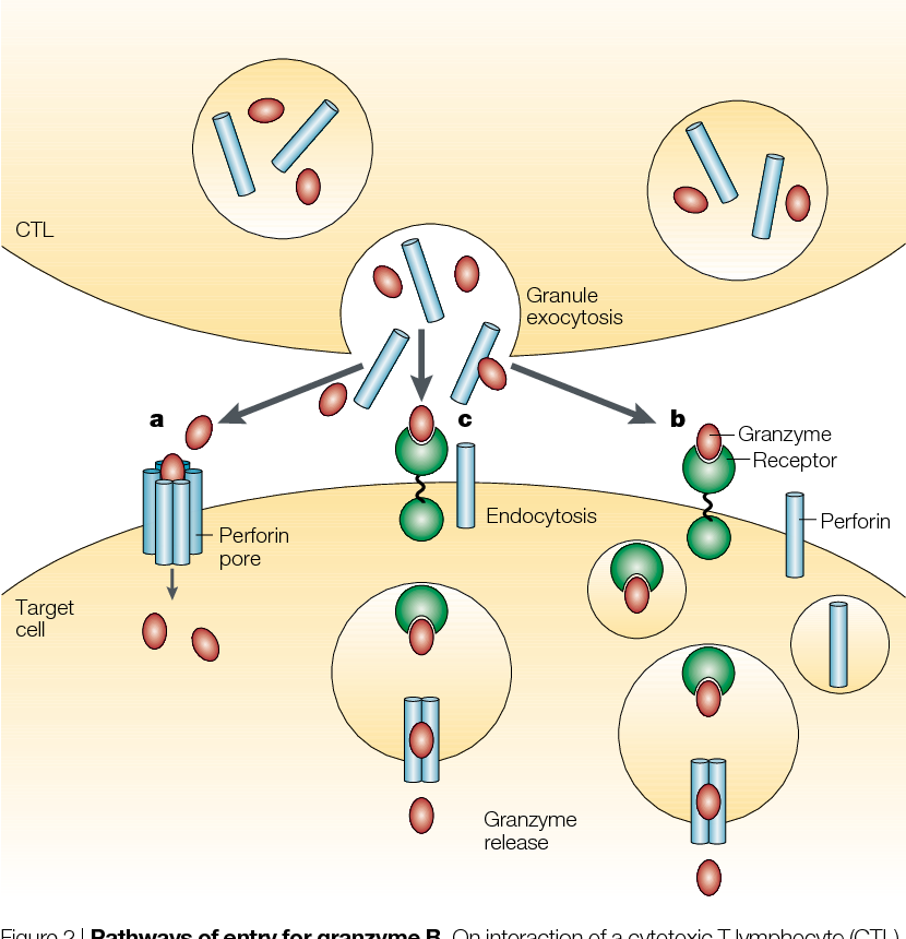 Figure 2 From Cytotoxic T Lymphocytes: All Roads Lead To