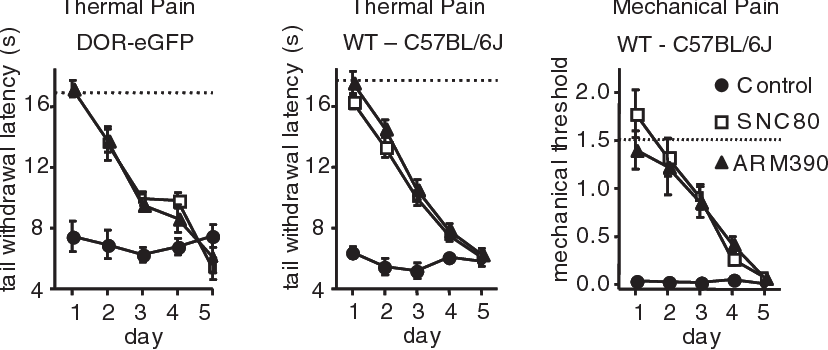Figure 2. Chronic SNC80 and ARM390 both produce analgesic tolerance. Development of tolerance in two mouse strains and two pain models. All animals were tested every 24 h with vehicle (control), SNC80 (10 mg/kg), or ARM390 (10 mg/kg) for 5 d. Left, CFA tail, thermal responses in DOR-eGFP mice. Middle, CFA tail, thermal responses in wild-type C57BL/6J mice. Right, CFA paw, mechanical responses in wild-type C57BL/6J mice. Dashed lines represent baseline mechanical or thermal responses pre-CFA. n 5–10 mice/group. Analgesic tolerance developed similarly for SNC80 and ARM390, independent of mouse strain or nociceptive endpoint.