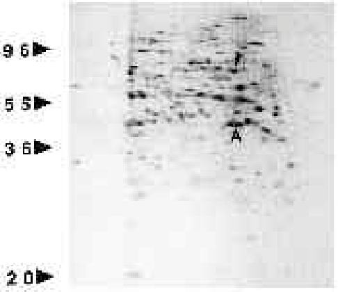 Fig. 9. Autoradiograph of a two-dimensional polyacrylamide gel showing that HSP70 is synthesized in stage VI oocytes. The molecular mass of polypeptides was determined according to electrophoretic migration of standards and is expressed (left) in 103 Mr. The separated proteins corresponded to a 10000 g supernatant of 10 defolliculated oocytes incubated for 2 hours at 19°C with [35S]methionine. The positions of HSP70 (arrowhead) and actin (A) are indicated.