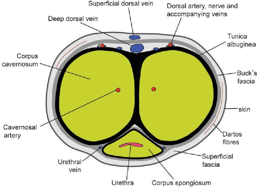 Figure 1 From Mri Of The Penis Semantic Scholar