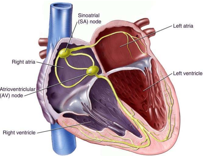 pacemaker case study The chapter presents a case study: pacemaker, that will serve as a common example to illustrate the different modeling techniques this case study is part of a great challenge, whose goal is to.