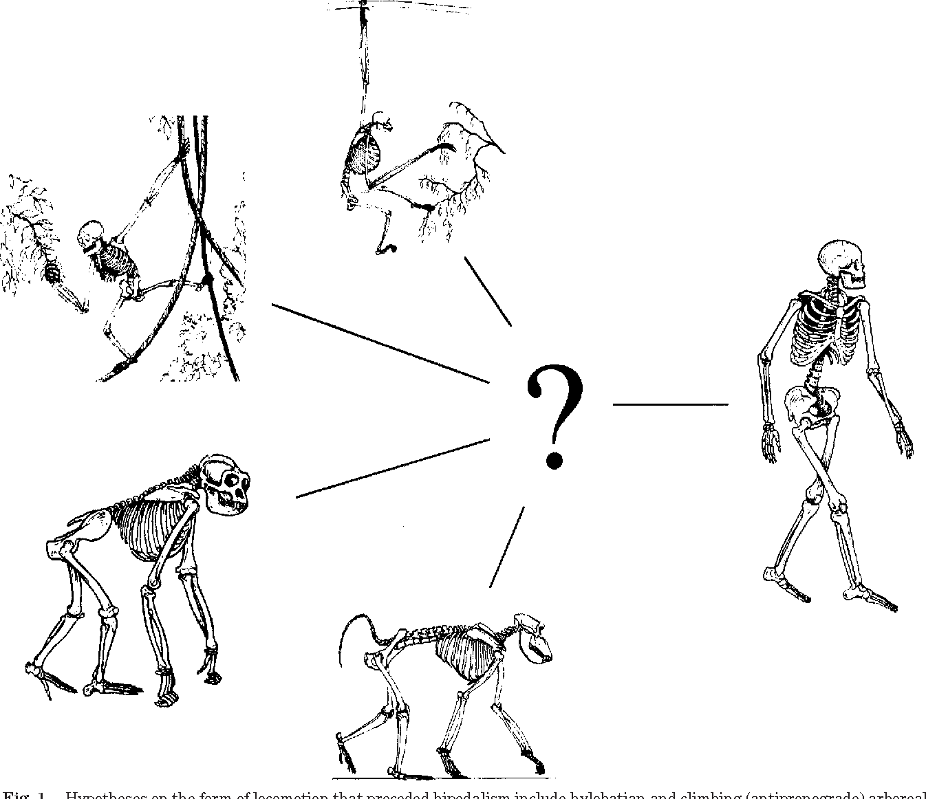 Origin of human bipedalism: The knuckle-walking hypothesis revisited ...