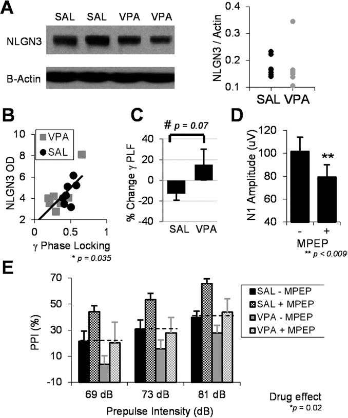 Validating γ Oscillations and Delayed Auditory Responses as