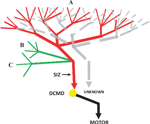 Figure 1 for Collision Selective Visual Neural Network Inspired by LGMD2 Neurons in Juvenile Locusts