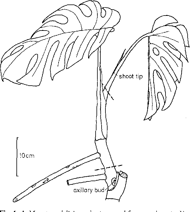 Figure 1 From Phloem Unloading In Aerial Roots Of Monstera Deliciosa