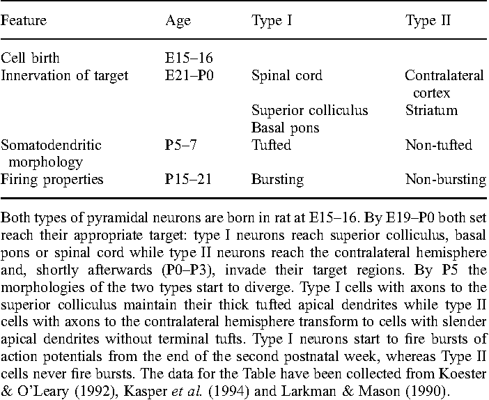 Table 2. Time frames of the sequential differentiation of the two major classes of pyramidal neurons in the rat cortex