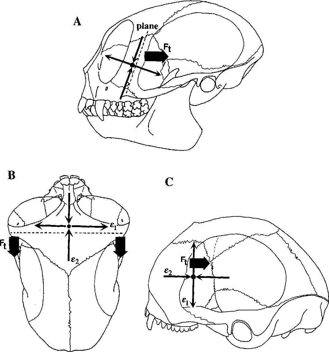 In Vivo And In Vitro Bone Strain In The Owl Monkey Circumorbital