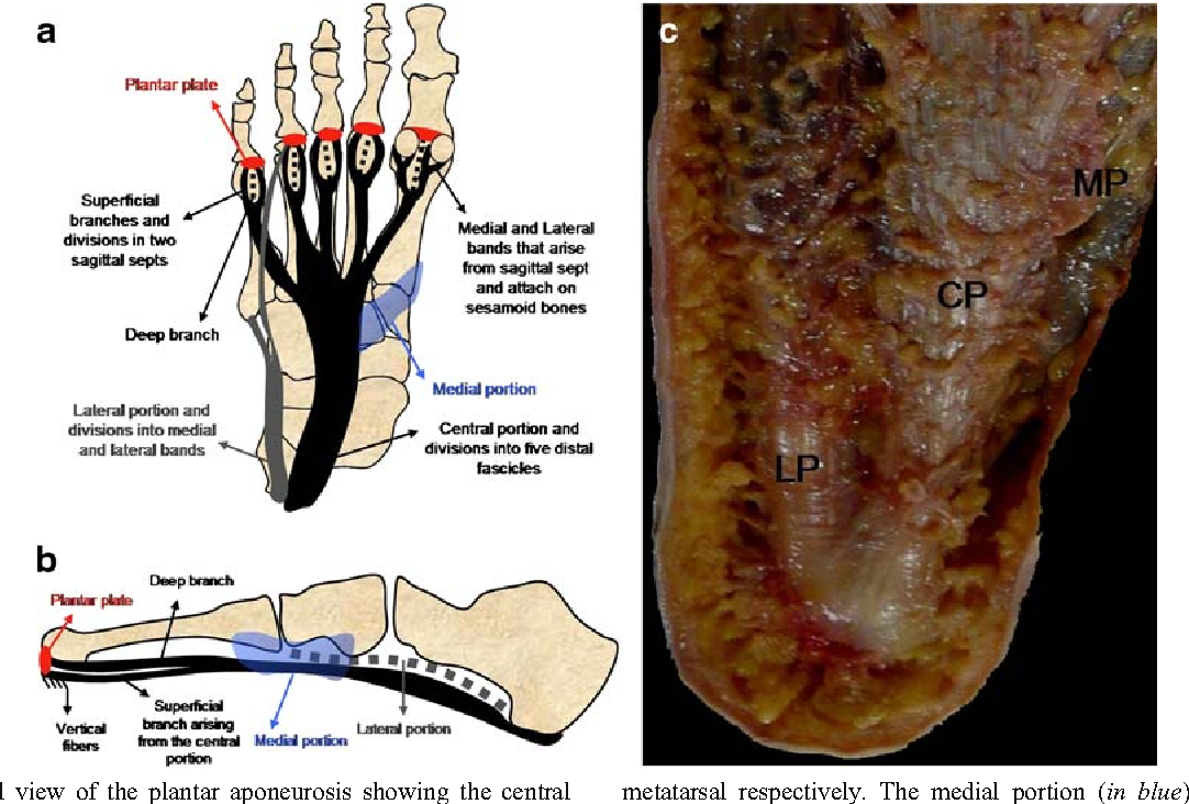 Anatomical features of plantar aponeurosis: cadaveric study using ...
