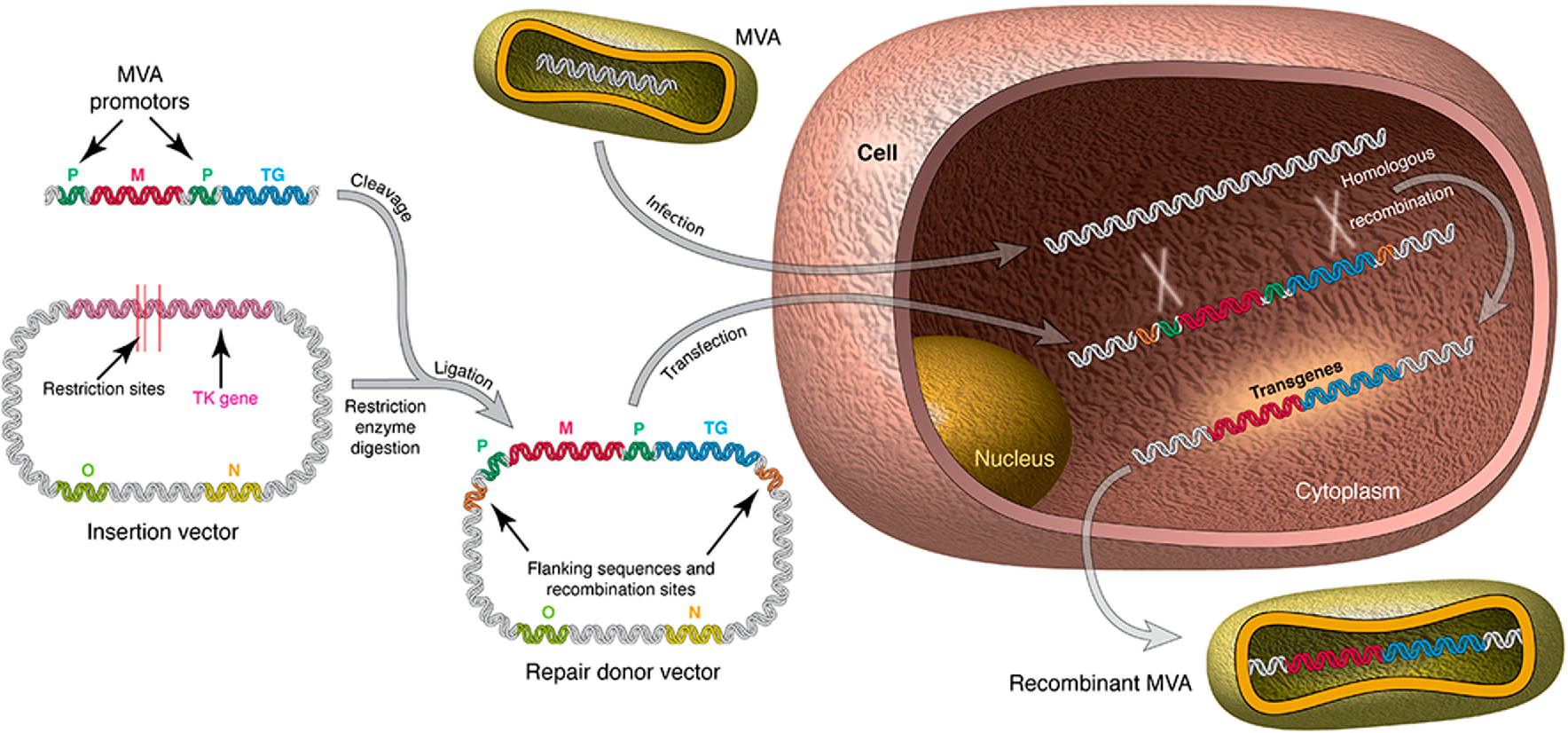 crispr/cas9-mediated genome editing of herpesviruses limits productive and latent infections