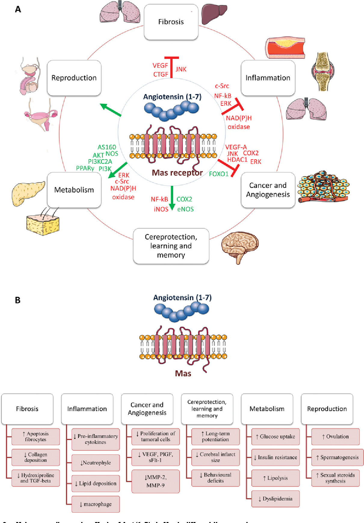 Figure 2 Main non-cardiovascular effects of Ang-(1–7) via Mas in different tissues and processes (A) Signalling molecules involved in the action of Ang-(1–7). The molecules in green and red indicate activation or inhibition by Ang-(1–7)/Mas respectively. The green arrows indicate activation or positive effects, and the red lines indicate inhibition of the process. (B) The main non-cardiovascular consequences of Ang-(1–7) on each process.