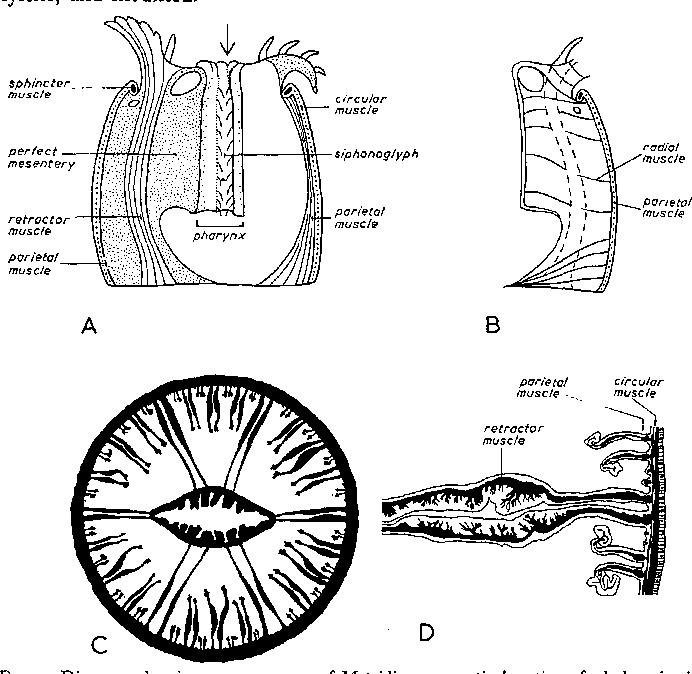 The Nerve Net Of The Sea Anemone Metridium Senile The Mesenteries
