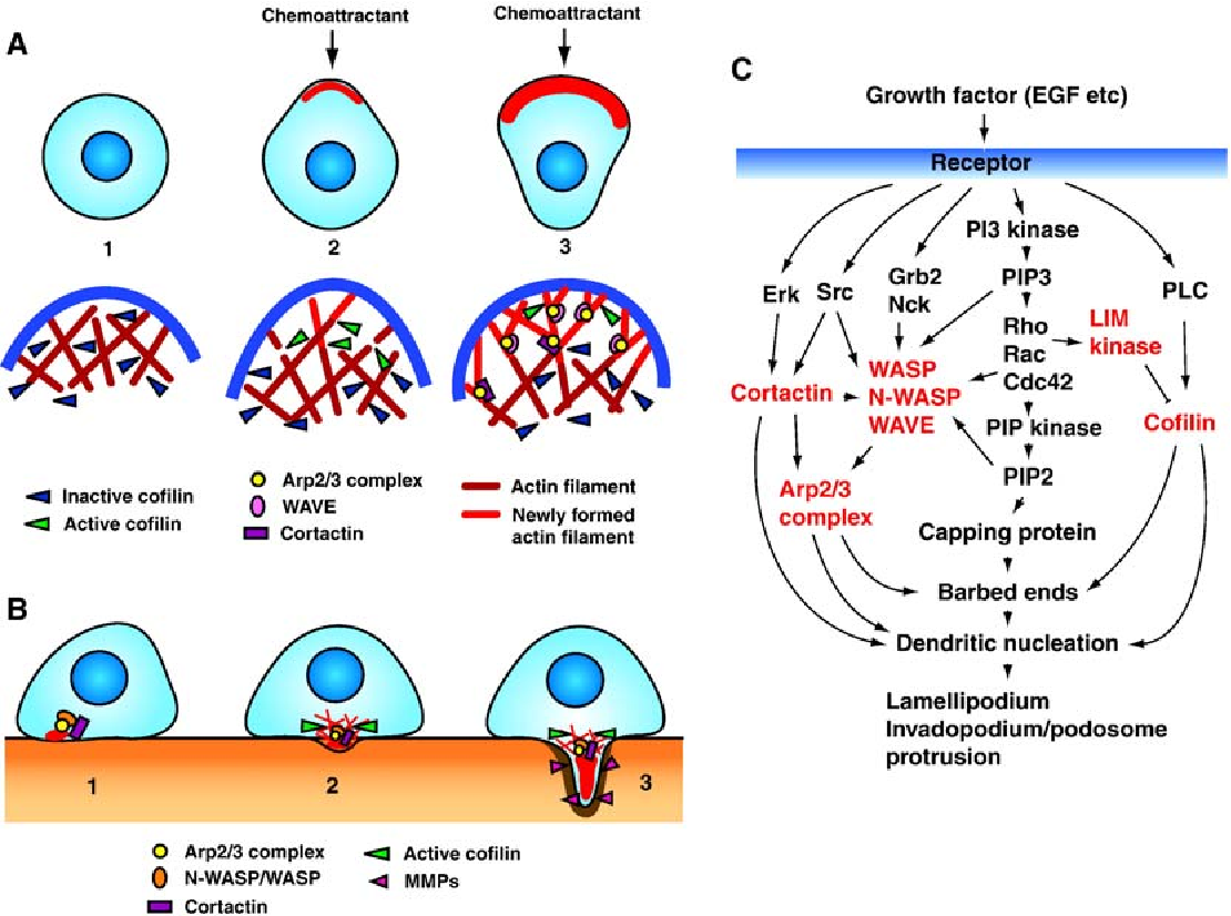 Regulation of the actin cytoskeleton in cancer cell migration and