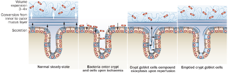 Figure 3 from The gastrointestinal mucus system in health and