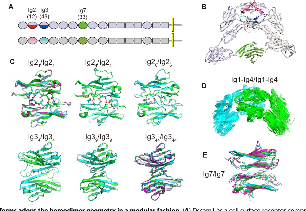 Structural Basis Of Dscam1 Homodimerization Insights Into Context